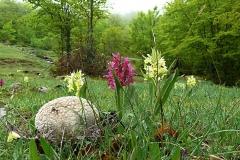 Carvatia utriformis - piritu 'i lupu e orchidee