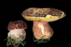 Boletus pinicola - cozza 'e pinu