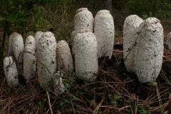 Coprinus comatus - fungo dell'inchiostro